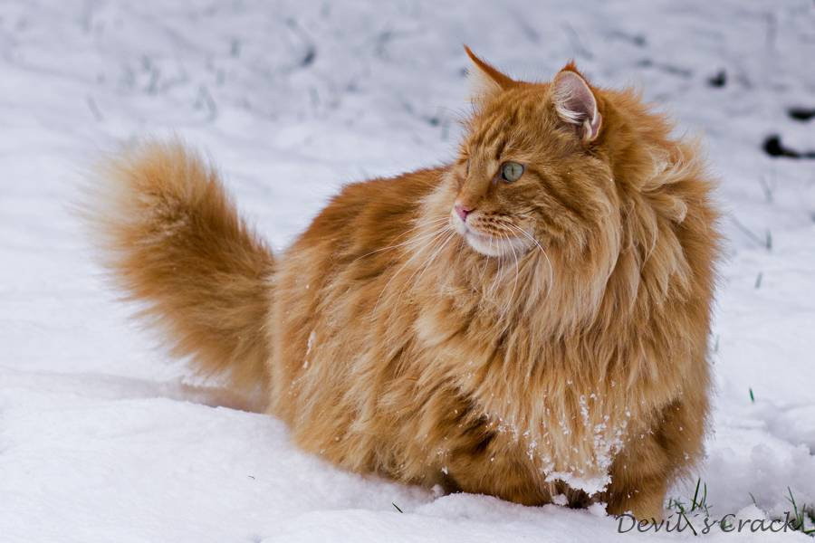 Norwegische Waldkatzen Die Norwegische Waldkatze